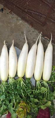 四川省遂宁市蓬溪县韩国白萝卜 2.5~3斤