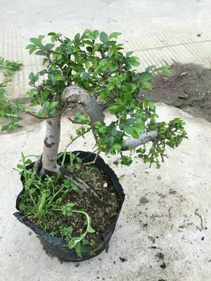 云南省昆明市呈贡区造型榆树