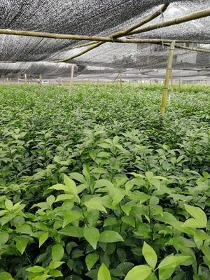 这是一张关于无核沃柑苗 嫁接苗 0.35~0.5米 的产品图片