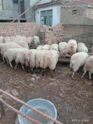 青海省西宁市大通回族土族自治县青海黄南种公羊 140-170斤