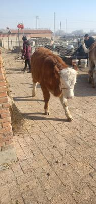 吉林省四平市公主岭市西门塔尔牛 400-600斤 母牛