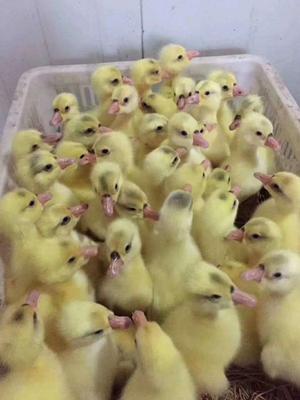 这是一张关于皖西白鹅鹅苗 的产品图片