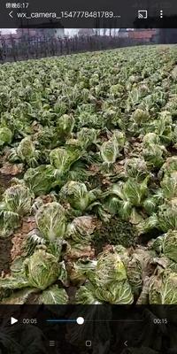 湖北省荆门市钟祥市青杂三号白菜 3~6斤 净菜