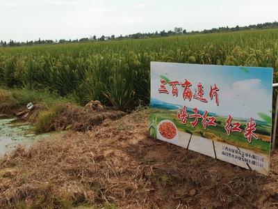 江西省南昌市南昌县软红米