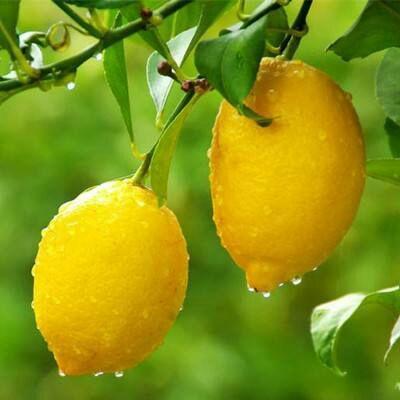 这是一张关于香水柠檬苗 的产品图片