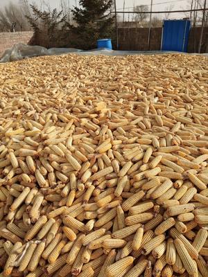 陕西省榆林市定边县先玉335玉米粒 净货 水份14%-16%