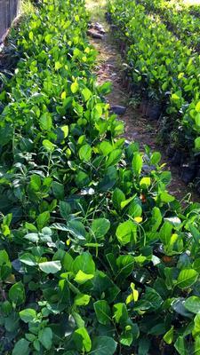 这是一张关于马来西亚一号菠萝蜜苗 的产品图片