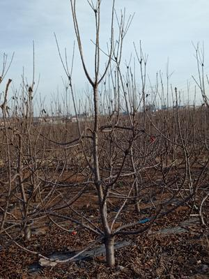 这是一张关于美早樱桃树 的产品图片