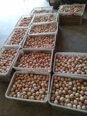 湖北省荆门市钟祥市土鸡种蛋 孵化 箱装