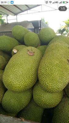 湖南省长沙市雨花区海南菠萝蜜 15斤以上