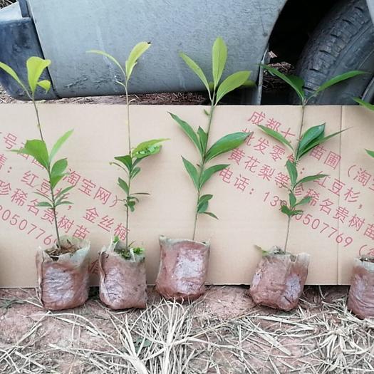 小叶桢楠 专业基地金丝楠苗营养杯苗无纺布袋量大量小都发货