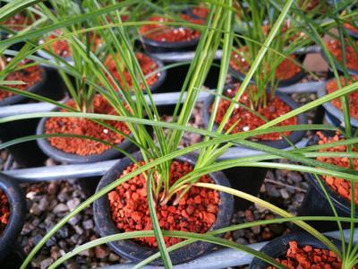 这是一张关于莲瓣兰 裸根不带土 的产品图片