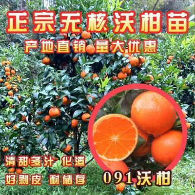 这是一张关于无核沃柑苗 嫁接苗 0.5~1米 的产品图片