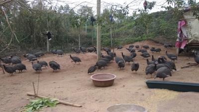 广西壮族自治区南宁市良庆区银斑珍珠鸡 2-4斤