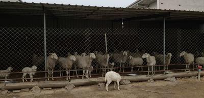河北省衡水市饶阳县绵羊 80-110斤
