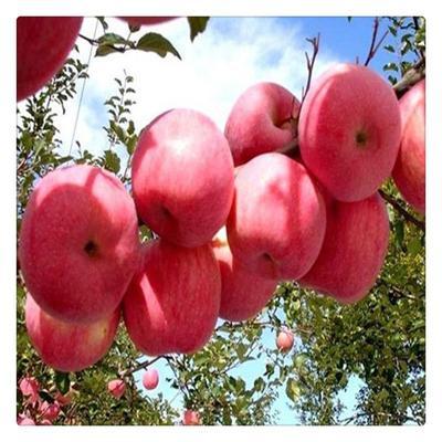 这是一张关于烟富8号苹果树苗 1.5~2米 的产品图片