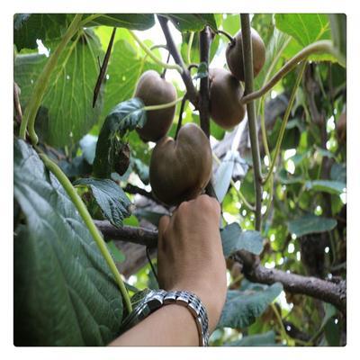 这是一张关于徐香猕猴桃苗 嫁接苗 的产品图片