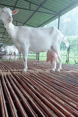 山东省菏泽市郓城县奶山羊 50-80斤