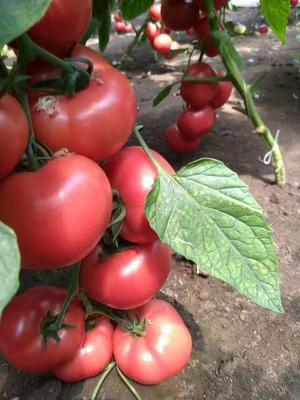 吉林省松原市扶余市硬粉番茄 通货 弧三以上 硬粉