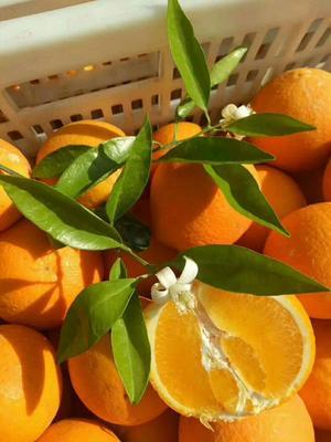 这是一张关于伦晚脐橙 75 - 80mm 4-8两 的产品图片