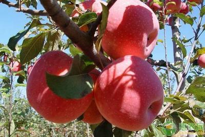 这是一张关于烟富8号苹果树苗 1~1.5米 的产品图片