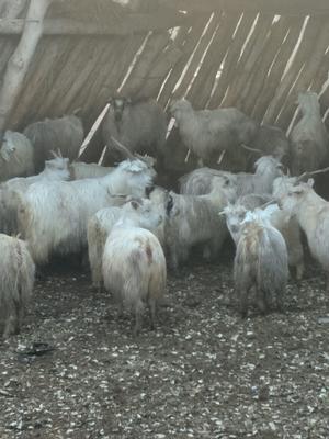 这是一张关于塔河小山羊 30斤以下 的产品图片
