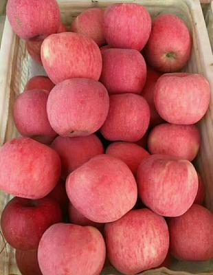 陕西省延安市洛川县洛川苹果 60mm以上 全红 光果