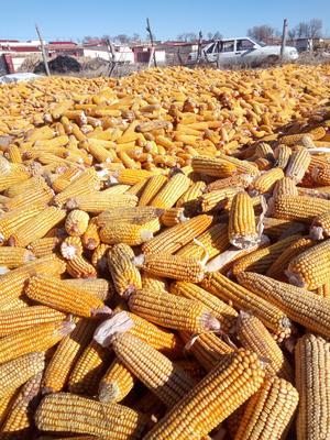 内蒙古自治区乌兰察布市四子王旗玉米干粮 净货 水份17%-20%