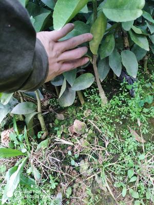 这是一张关于沃柑苗 扦插苗 0.35~0.5米 的产品图片