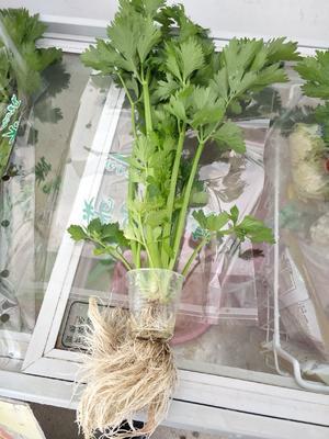 福建省龙岩市永定县西芹 40~45cm 0.5斤以下 大棚种植
