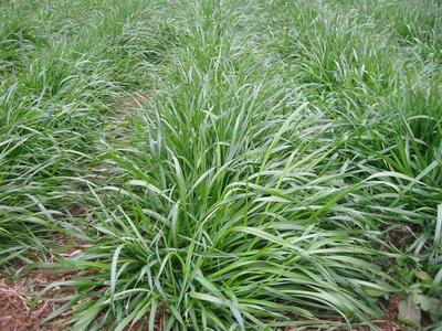 这是一张关于黑麦草种子 的产品图片