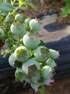 这是一张关于珠宝蓝莓 15mm以上 鲜果 的产品图片