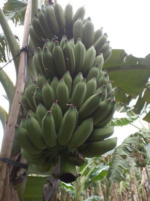 广西壮族自治区钦州市灵山县粉蕉 八成熟
