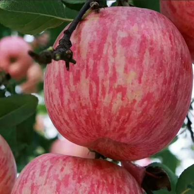 山东省临沂市蒙阴县红富士苹果 80mm以上 条红 纸+膜袋