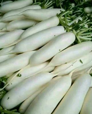 贵州省贵阳市息烽县白萝卜 2~2.5斤
