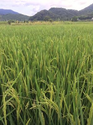 安徽省池州市贵池区玉针香稻谷 中稻/一季稻