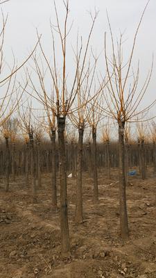 这是一张关于金枝槐 的产品图片