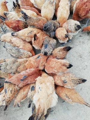 广西壮族自治区钦州市钦北区土鸡 2-3斤 统货