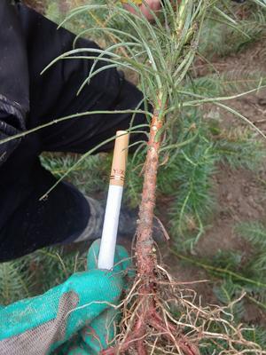 广西壮族自治区贺州市八步区杉木树苗