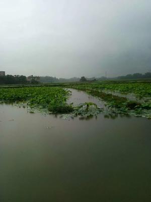 广西壮族自治区桂林市平乐县小龙虾苗