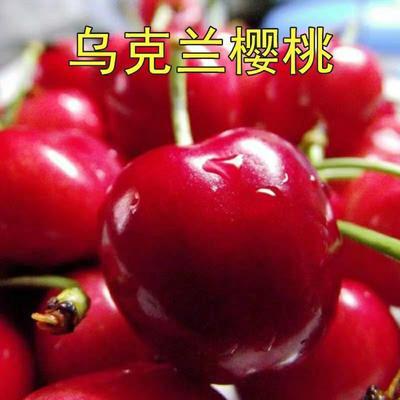 山东省临沂市平邑县乌克兰  大樱桃二至五年苗。
