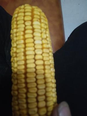 内蒙古自治区鄂尔多斯市鄂托克前旗迪卡653玉米粒 净货 水份17%-20%