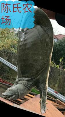 广东省惠州市惠城区生态甲鱼