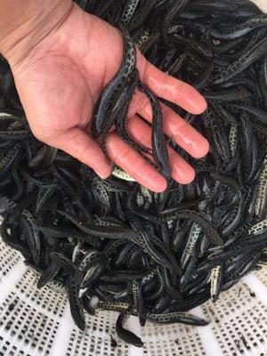 江苏省淮安市淮安区池塘草鱼 人工养殖 0.05公斤