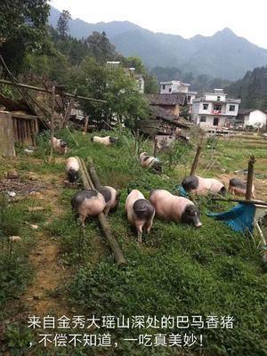 广西壮族自治区来宾市金秀瑶族自治县巴马香猪 40-60斤