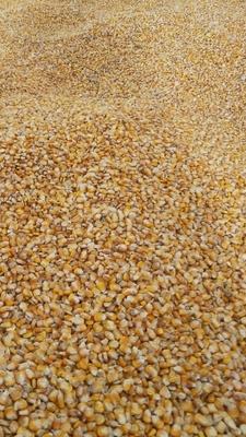 贵州省毕节市威宁彝族回族苗族自治县玉米干粮 净货 水份<14%