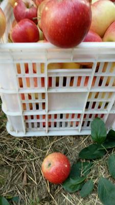 山东省济南市槐荫区红富士苹果 65mm以上 全红 膜袋