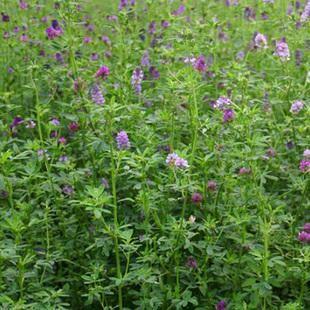 这是一张关于紫花苜蓿种子 的产品图片