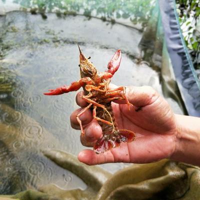 广西壮族自治区梧州市长洲区克氏原螯虾 2钱以下 塘虾