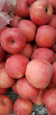 云南省曲靖市罗平县红富士苹果 75mm以上 统货 纸+膜袋